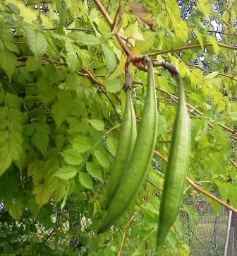 how to grow yard long beans in south florida