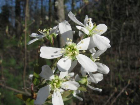 White flowered roadside trees and shrubs new hampshire garden naturalists and botanists have been arguing for years over the many native shadbush species and hybrids the 5 white flower petals can appear quite mightylinksfo