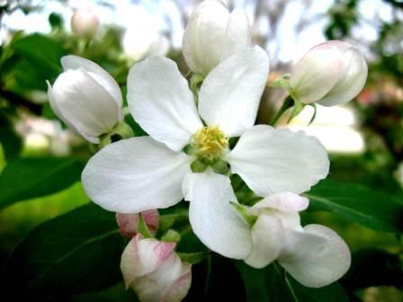 White flowered roadside trees and shrubs new hampshire garden here is a close up of an apple blossom my grandmother loved these fragrant beauties and as a boy i used to bring her armloads of them mightylinksfo