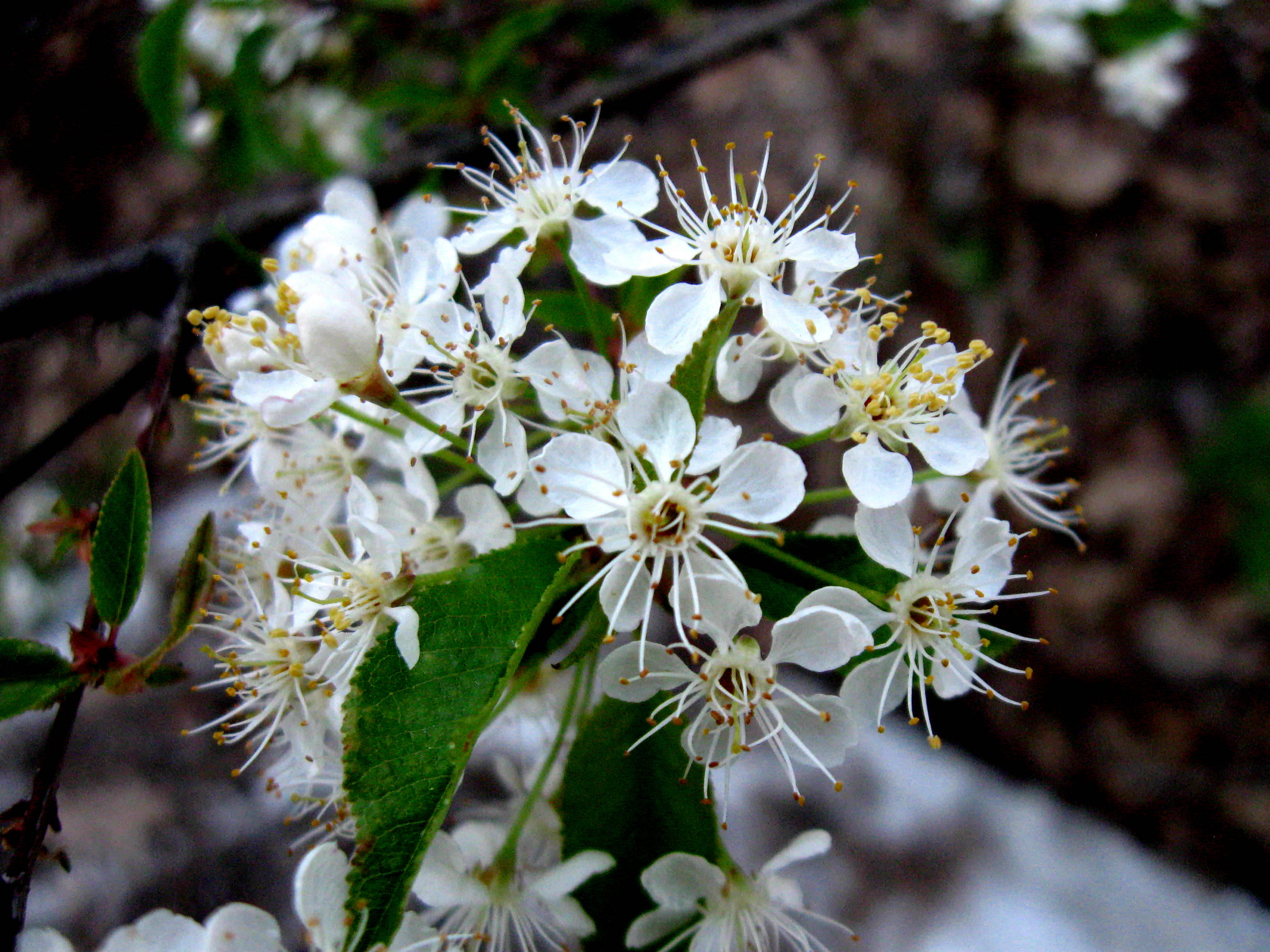 White Flowered Roadside Trees And Shrubs New Hampshire Garden