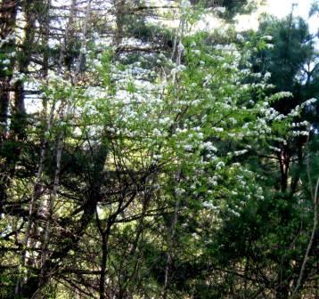 White flowered roadside trees and shrubs new hampshire garden like most of the white spring flowering mightylinksfo