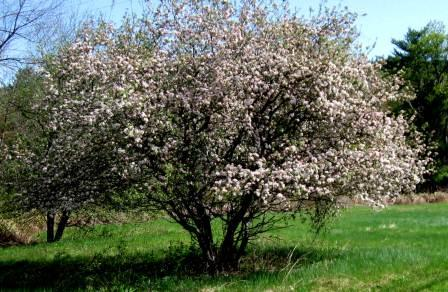 White Flowered Trees and Shrubs | New Hampshire Garden ...