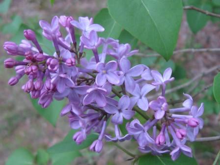 Pasque Flower New Hampshire Garden Solutions