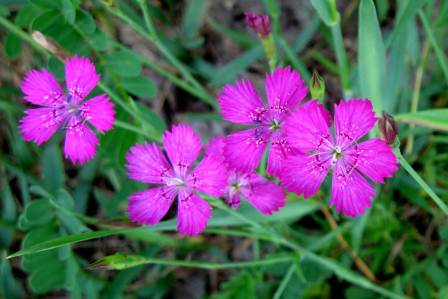 Early summer wildflowers new hampshire garden solutions wild maiden pinks dianthus deltiodes can be seen in meadows everywhere right now dianthus are in the carnation family and this plant is also called wild mightylinksfo Choice Image