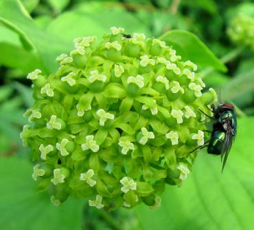 https://nhgardensolutions.files.wordpress.com/2012/06/female-carrion-flower-with-fly.jpg?w=370&h=336