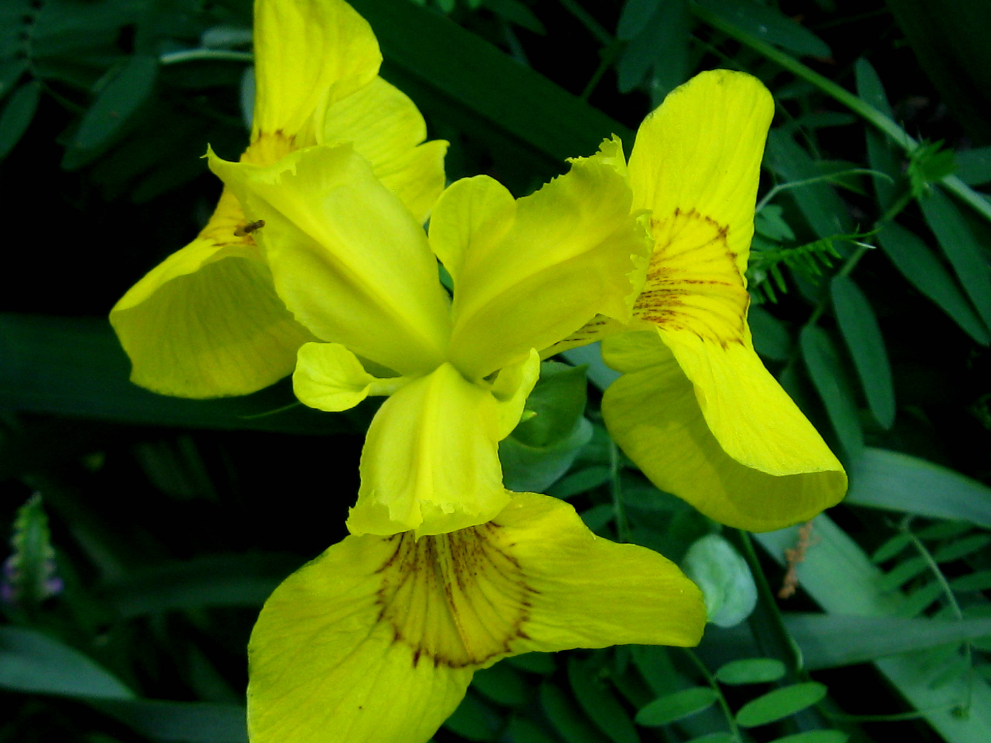 Iris new hampshire garden solutions this izmirmasajfo Choice Image