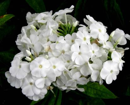 This White Tall Garden Phlox (Phlox Paniculata) Was Suffering You Can See  It In The Leaves But The Flowers Were Holding Their Own And Were Very  Fragrant.