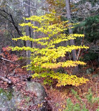 beech tree coloring pages - photo#43