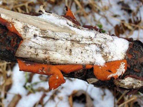 10. Inner Bark of Staghorn Sumac