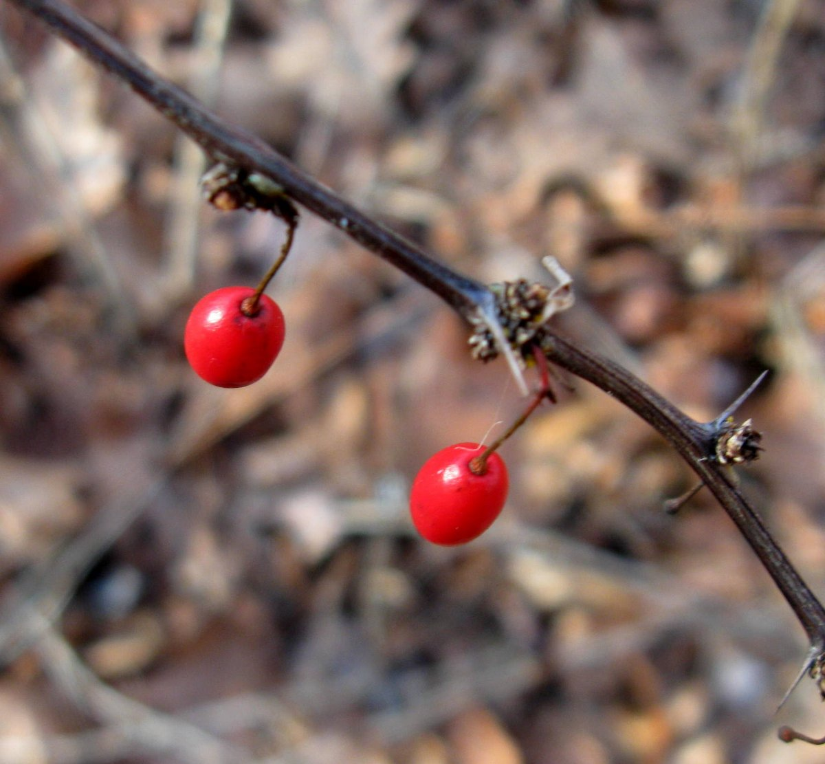 11. Barberry Fruit