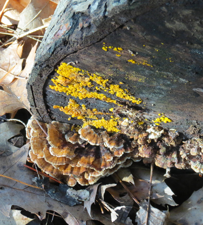 11. Lemon Drops and Turkey Tails on a Log