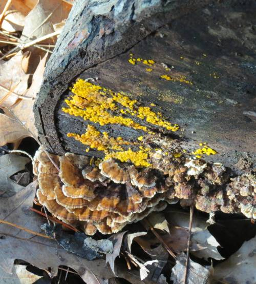 11. Lemon Drops and Turkey Tails on a Log