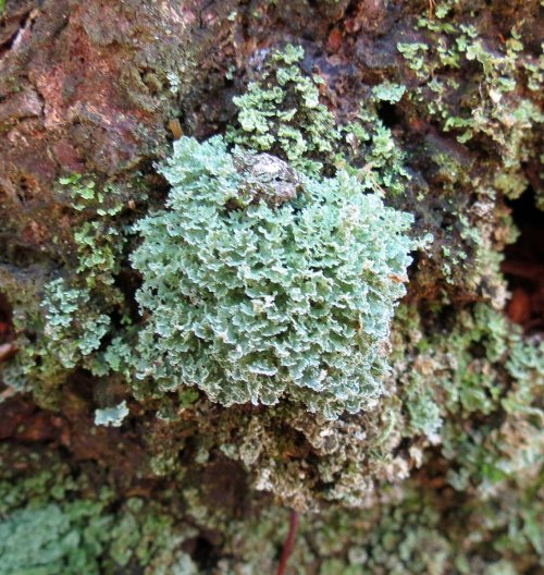 11. Unknown Lichen