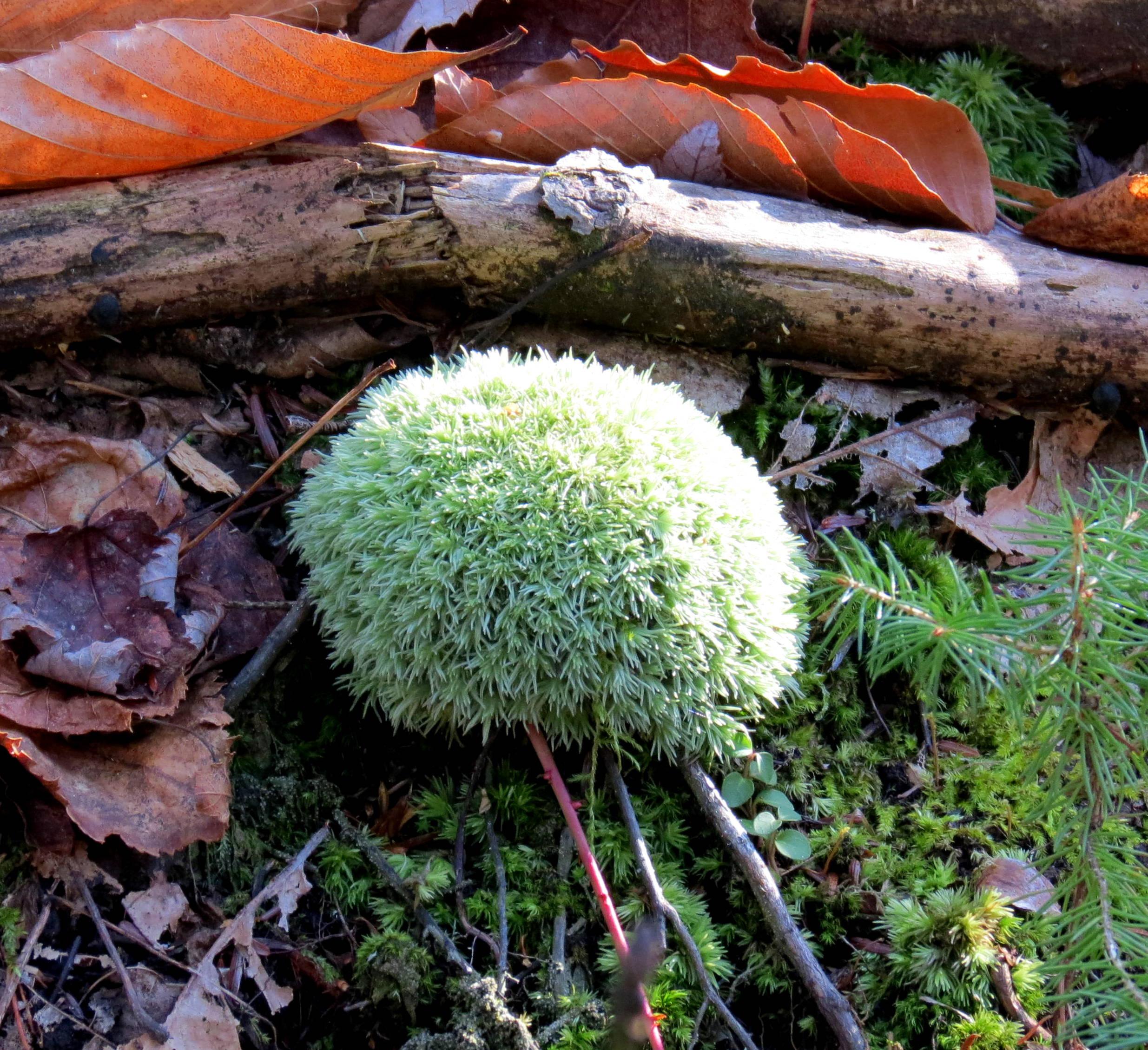12. White Cushion Moss