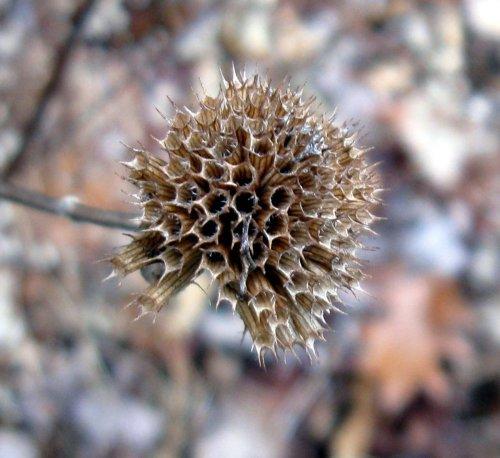 14. Empty Bee Balm Seedhead