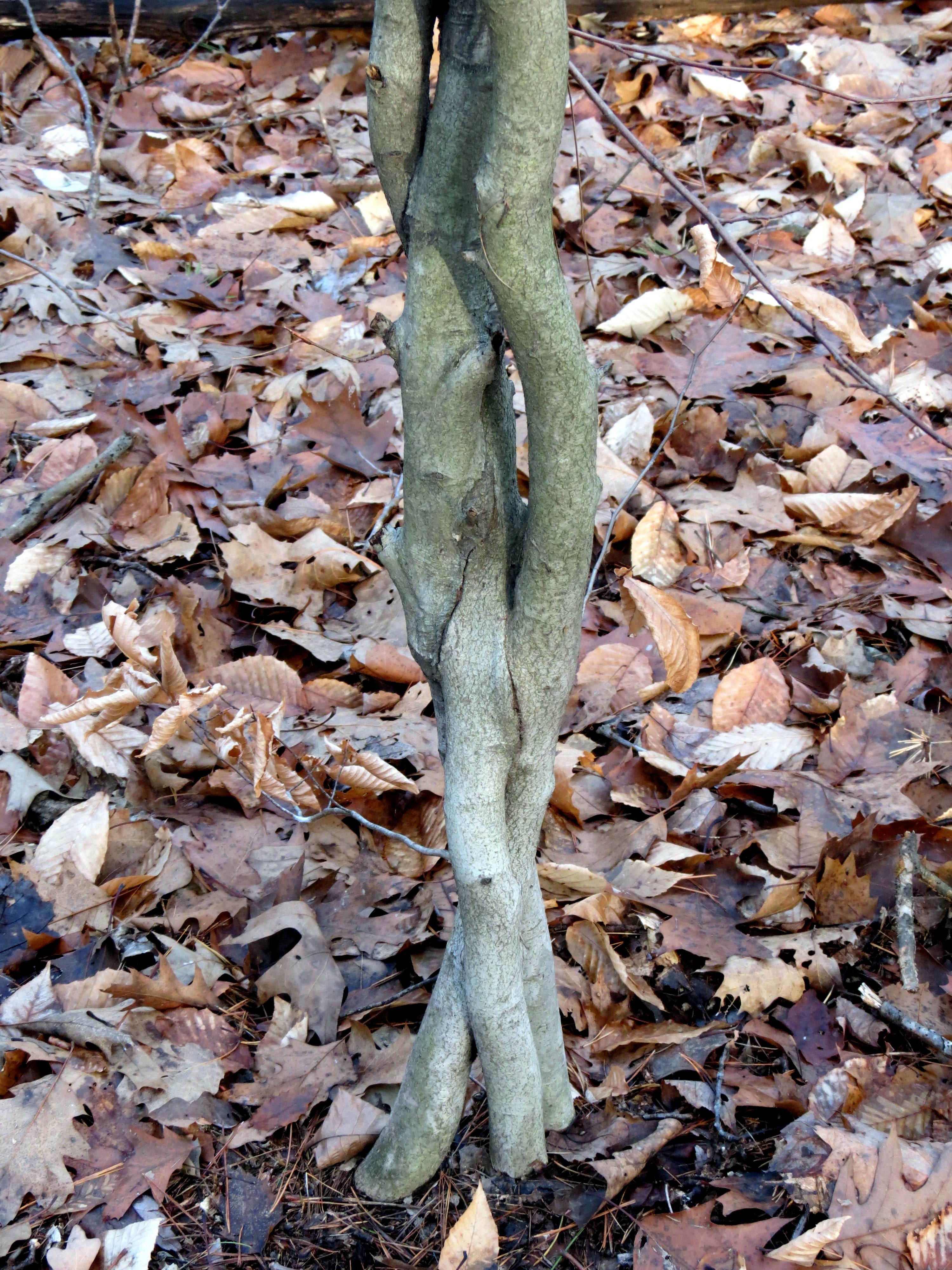 14. Woven Beech Trees