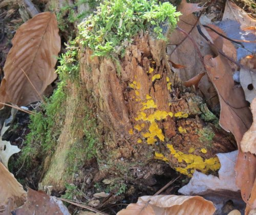 4. Witch's Butter on Stump