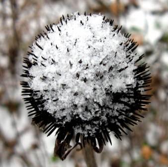 5. Snowy Seed Head