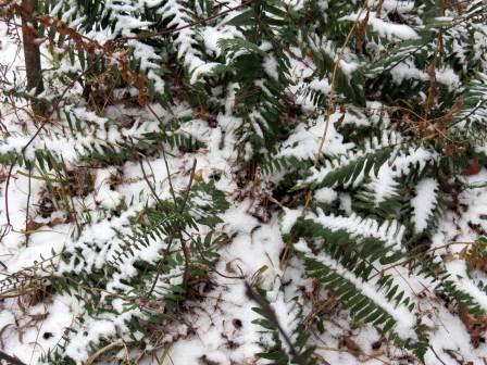 6. Snowy Evergreen Christmas Fern