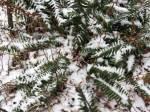 6. Snowy Evergreen ChristmasFern