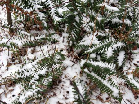 6. Snowy Evergreen Christmas Fern