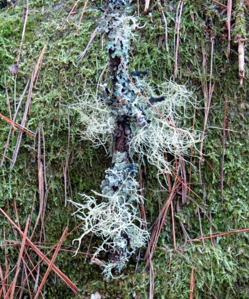 8. Beard Lichen