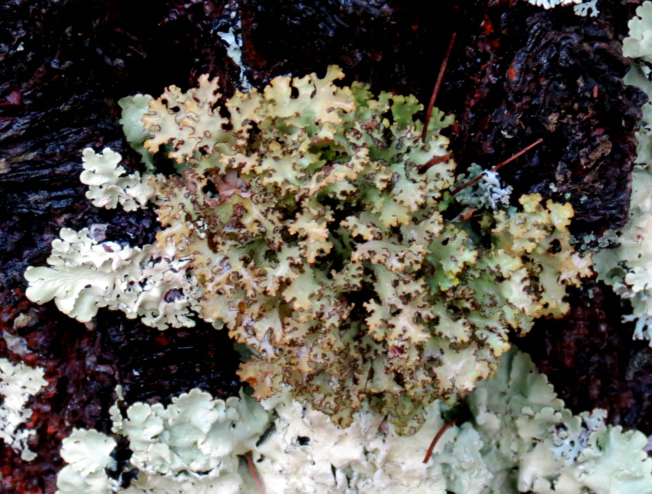 8. Foliose Lichen
