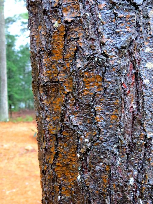 9. Orange Brown Lichen