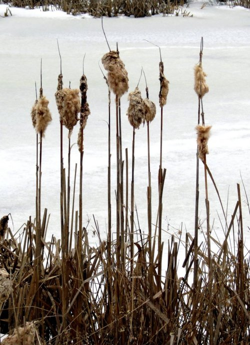 10. Cattails
