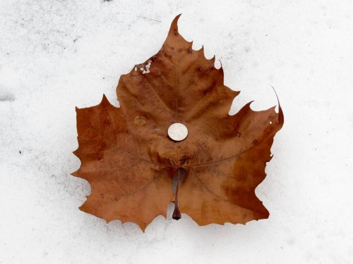 10 Sycamore Leaf