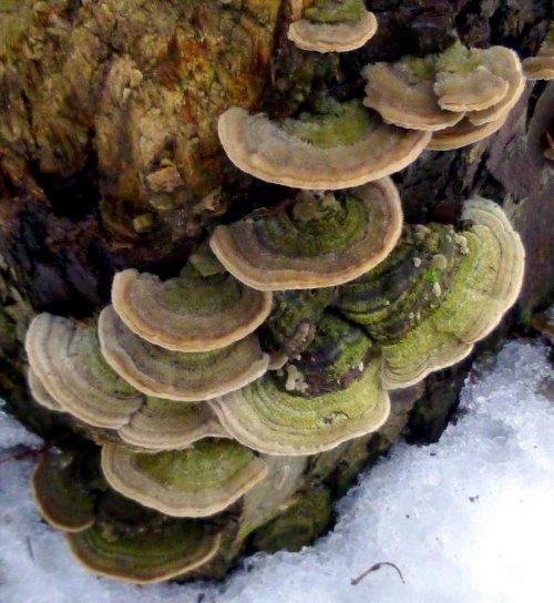 11. Bracket Fungi