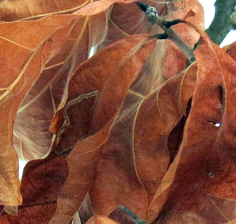 11. Oak Leaves Close Up