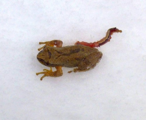11. Tree Frog on Snow