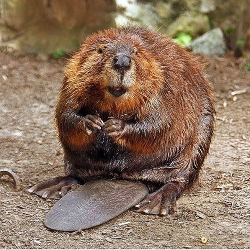 12. American Beaver