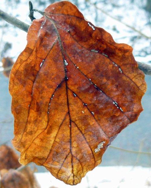 2. Witch Hazel Leaf