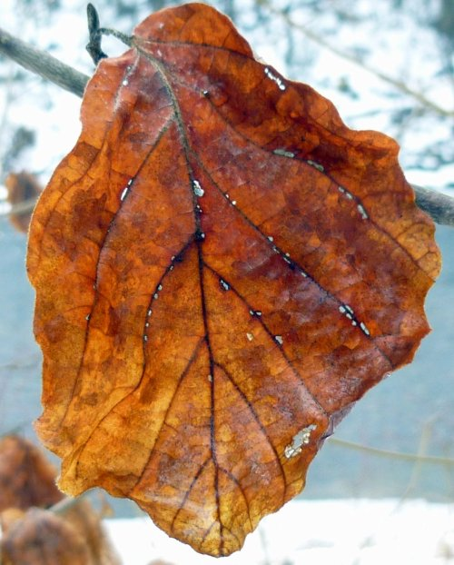 2. Witch Hazel Leaf