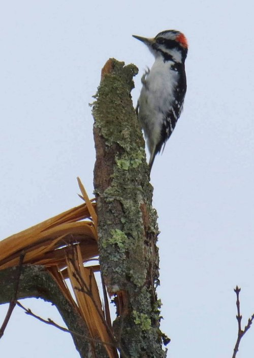 3. Cemetary Woodpecker