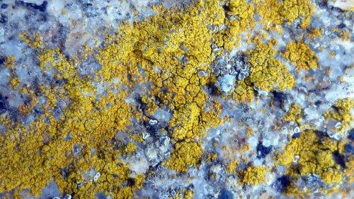 3. Goldspeck Lichen