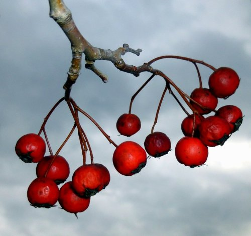 3. Mountain Ash Berries
