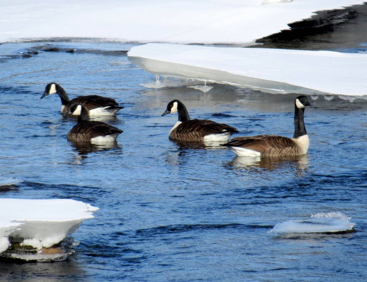 4. Geese on the River
