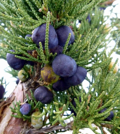 4. Juniper Berries