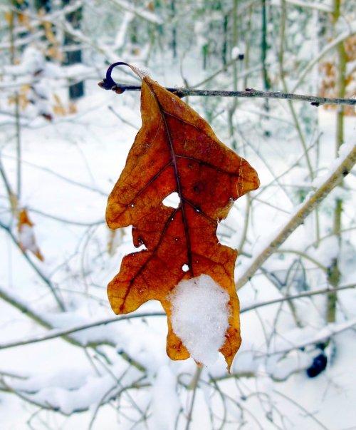 4. Snowy Oak Leaf