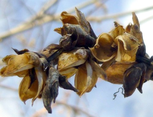 4. Turtlehead Seed Pods