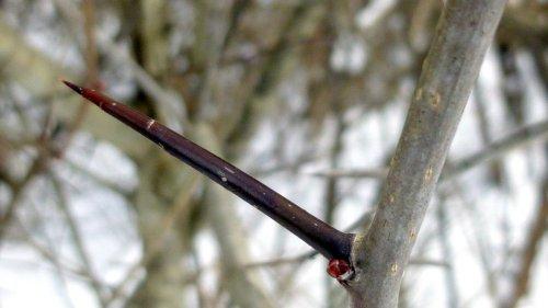 5. Hawthorn