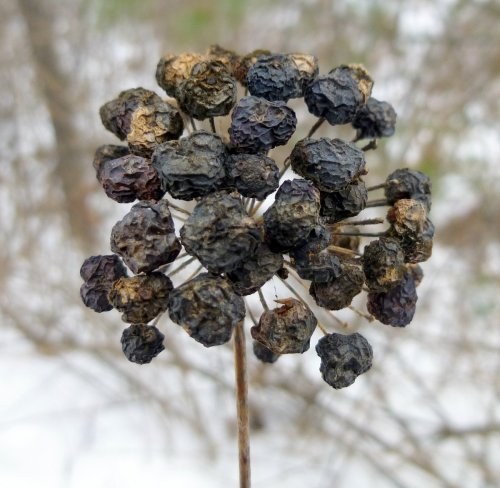 6. Dried Carrion Flower Fruit