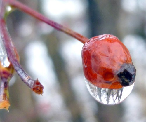 6. Rose Hip with a Drip
