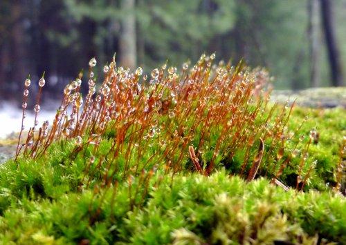 7. Moss Sporangia in Fog