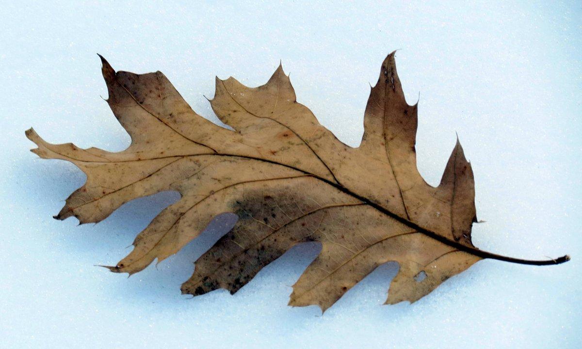 7. Oak Leaf on Snow