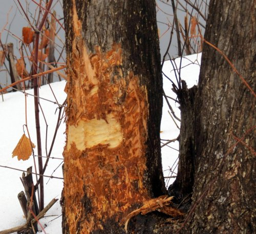 8. Beaver Damage on Elm