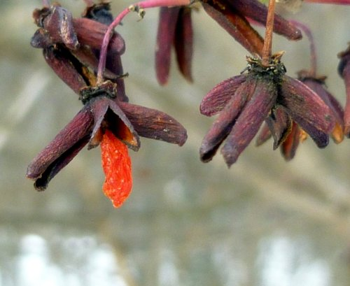 8. Dried Burning Bush Fruit